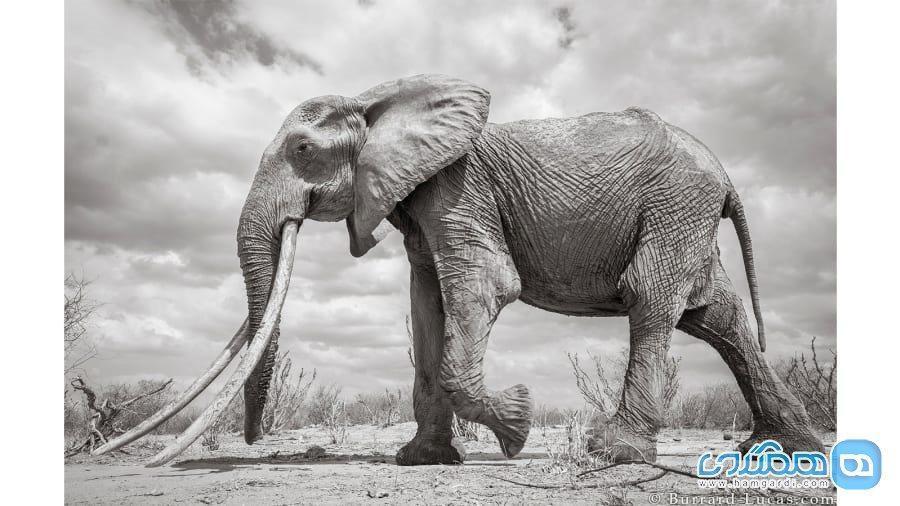 تصاویر فوق العاده و نایاب از ملکه فیل ها در کنیا