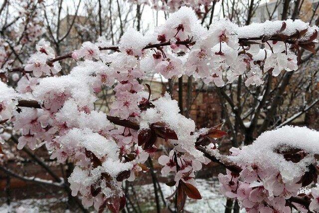 سرما به درختان هسته دار خراسان شمالی خسارت وارد کرد