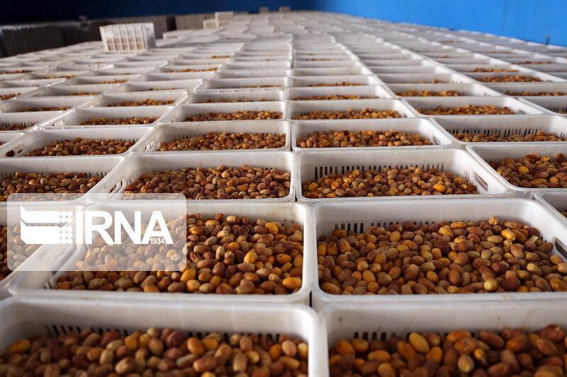 خبرنگاران کرونا، صنعت خرمای خوزستان را متضرر کرد