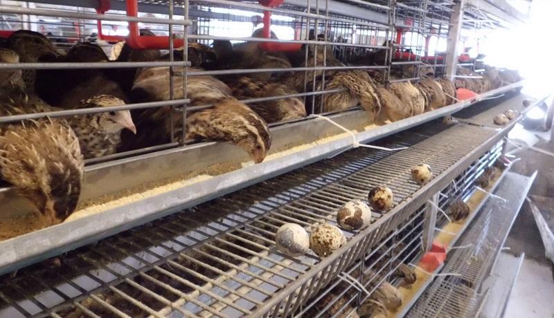 کمبود گوشت بلدرچین در بازار